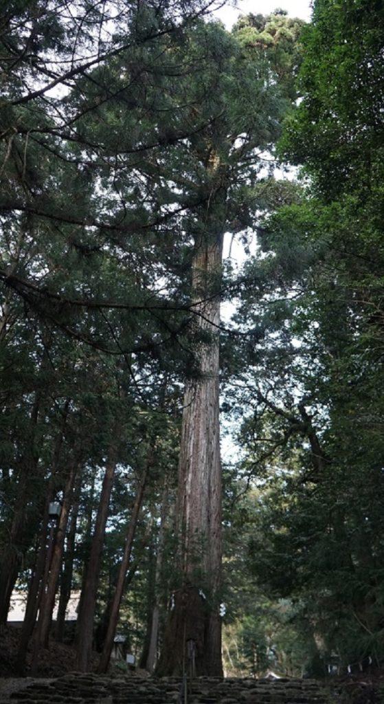 皇大神社のご神木。天を衝くようまっすぐに鋭く杉が伸びている。