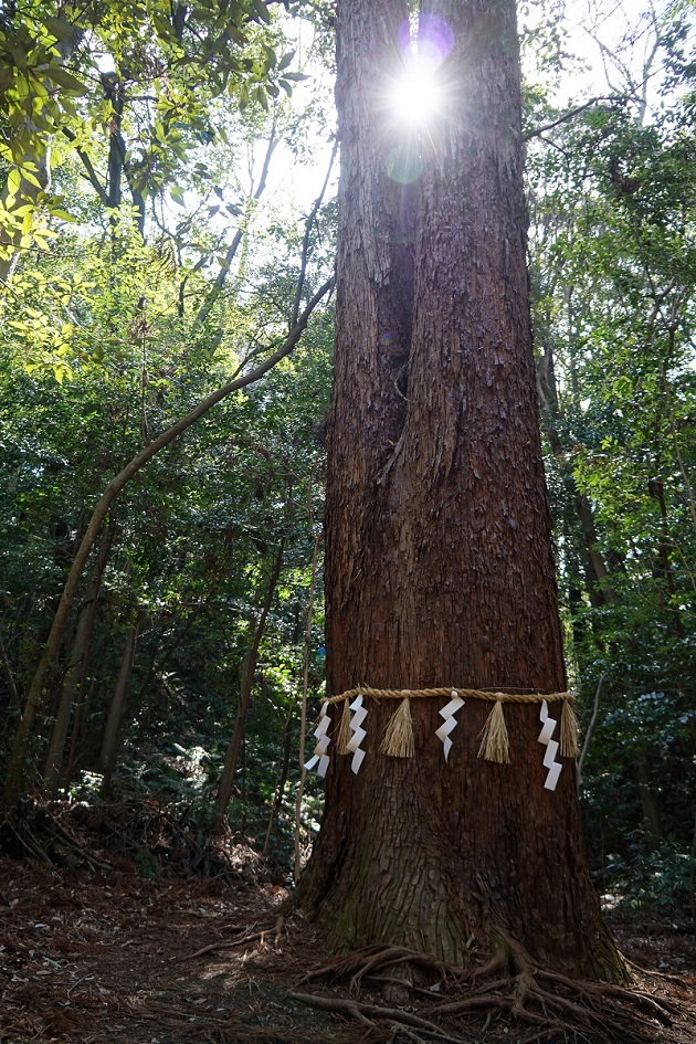 星田妙見宮のご神木の親子杉。日の光を受けてとても神々しい姿をみせてくれた。