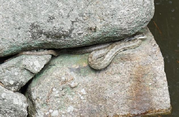 境内にあらわれた蛇。白蛇は神さまの使いでもあり、とても縁起がいい。
