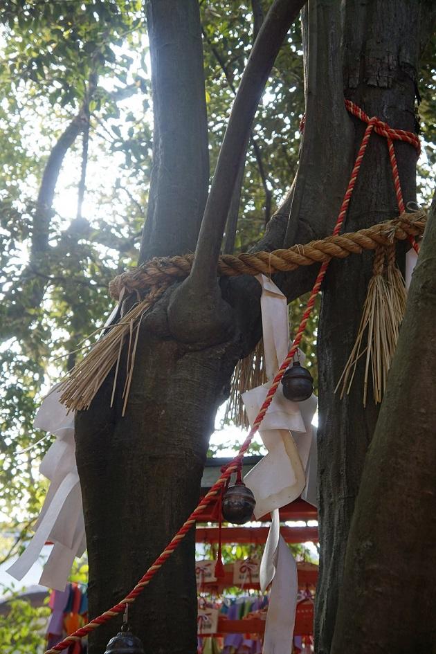 神秘的な連理の賢木。相生社とこの神木を3周するのが正しい願掛けの方法となる。