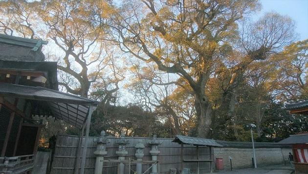 石清水八幡宮のご神木の楠。癒しの力があふれているようだ。