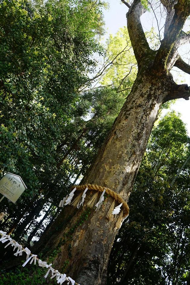 宇治上神社のご神木のけやき。樹齢は300年。