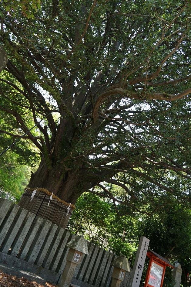 日本最大・最古となる熊野速玉大社のナギの御神木。ご利益を求めて人が集まる。