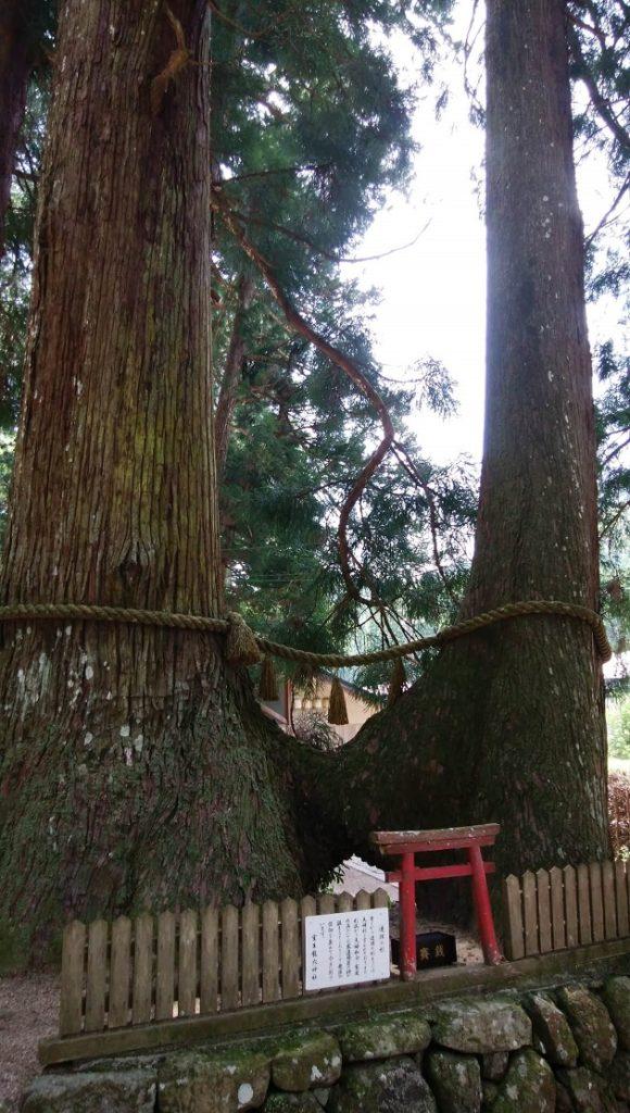 室生龍穴神社の見どころのひとつ「連理の杉」。右が下の方で一つになっている。ご利益は夫婦和合など。