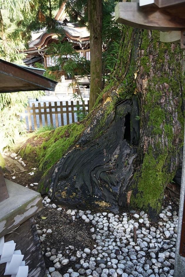 白蛇が出入りするとされる杉の神木の穴。幹あたりに縦長に開いている。