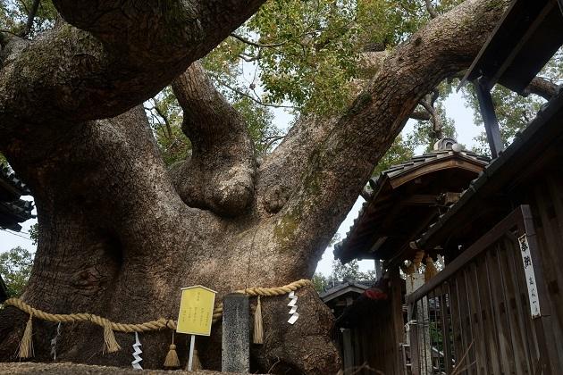 三島神社の楠。怪獣を彷彿させるほどの大きさだが不思議と圧迫感はない。