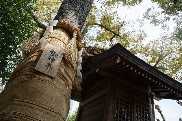 堀越神社のご神木。