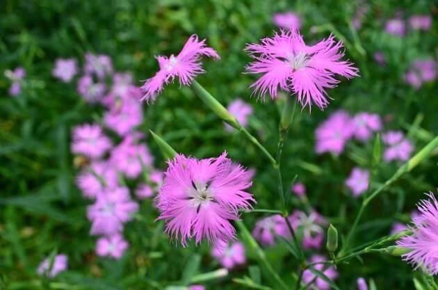 美しく咲き乱れるカワラナデシコ