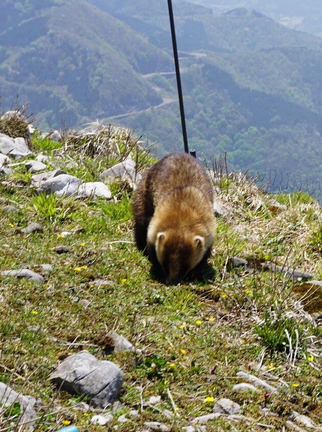 伊吹山の登山道でみかけたアナグマ