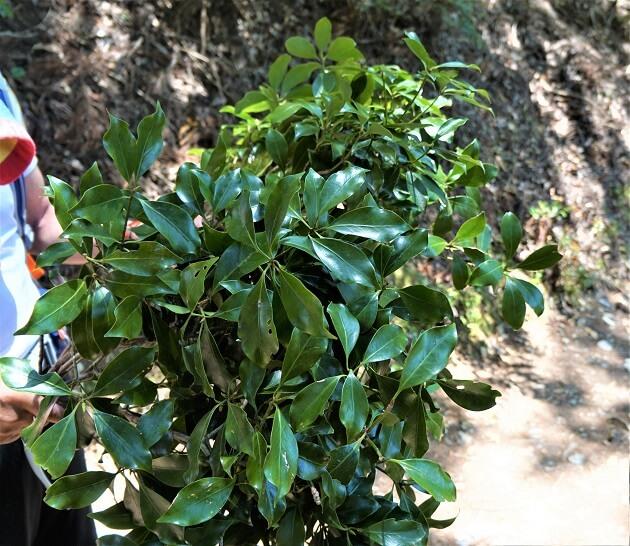 愛宕神社で授与される樒の葉。