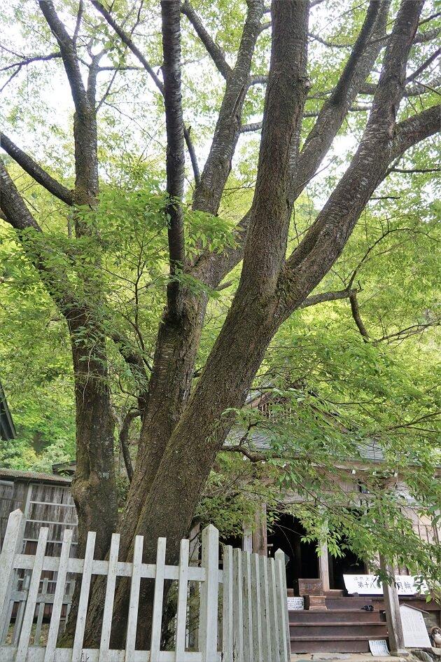 親鸞上人の手植えと伝わる月輪寺の時雨桜。