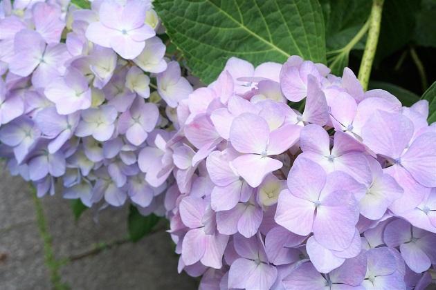大豊神社の紫陽花