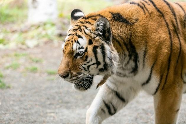 寅年を象徴する虎のカット写真